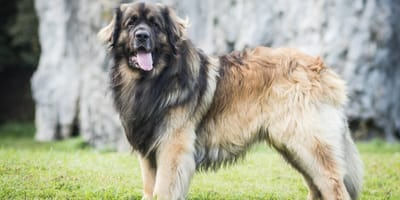 Here comes the big dog breeds: 15 giant dog breeds