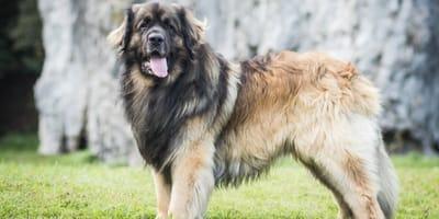 Leonberg big dog breed