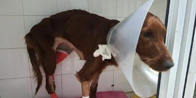 perra con varias heridas vendas y cono en la cabeza
