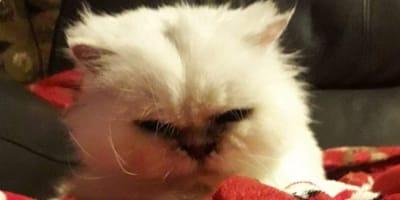 gato persa abandonado