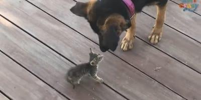 Zagubiony kociak spotyka owczarka niemieckiego: wtedy dzieje się coś, co rozczula wszystkich