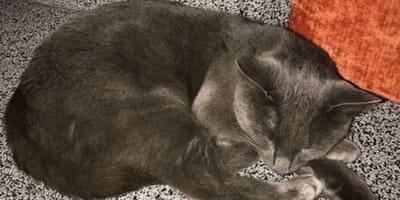 gato ruso azul durmiendo