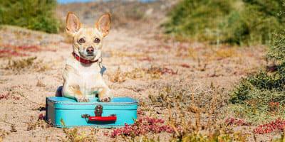perro chihuahua maleta calle