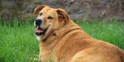 Perché il cane ha la pancia dura e gonfia?