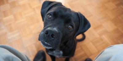pitbull negro con dueño