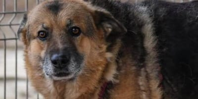 Cruel twist of fate puts senior GSD right back in shelter where he started