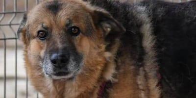 Nach 11 Jahren im Tierheim: Neuer Schlag trifft alten Schäferhund härter als je zuvor