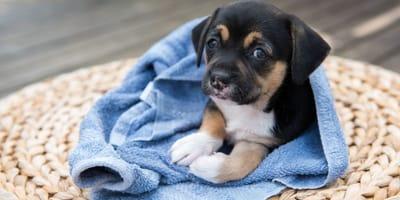 Züchter verkauft süßes Hundebaby in Handtuch, doch das böse Erwachen folgt prompt!