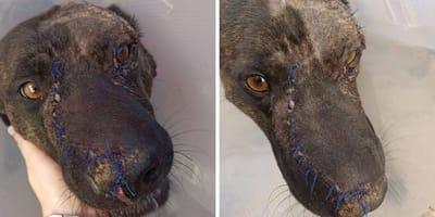 perro mestizo heridas suturas hocico