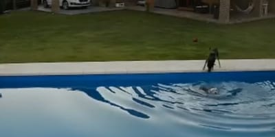 Dog helps pal who's fallen into a swimming pool