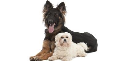 Najpopularniejsze rasy psów w Polsce w 2020 roku