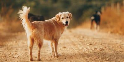 Welcher Hundename passt zum Golden Retriever?