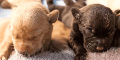 ¿Cómo quitarle las pulgas a un perro recién nacido?
