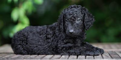 Ein schwarzer Curly Coated Retriever Welpe