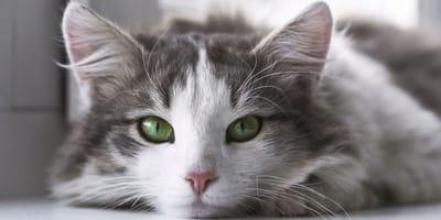 L'uveite del gatto: cause, sintomi e come curarla