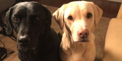 Black and blonde Labrador dogs