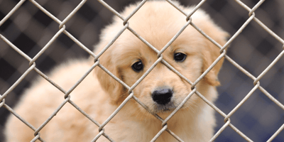 Hundreds of puppies put up for sale as owners regret lockdown adoptions