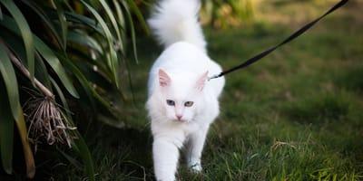 7 razze di gatti che si comportano come cani!