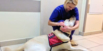 Labrador w szpitalu