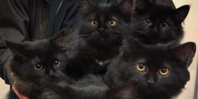 fünf schwarze Kätzchen schauen in die Kamera
