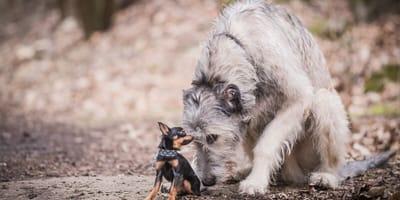 Die schönsten großen Hunderassen für Anfänger und Experten