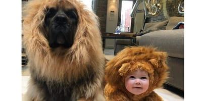 Przyjaźń tego małego dziecka i gigantycznego leonberger to najpiękniejsze, co dziś zobaczycie (VIDEO)
