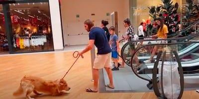 perro golden retriever miedo escalera mecanica