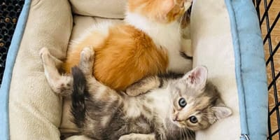 Dwoje leżących kociąt