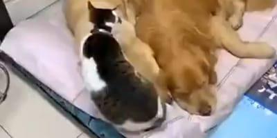 Kot skrada się do legowiska golden retrieverów i robi coś, czego nikt się nie spodziewa