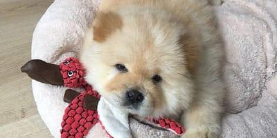 cachorro chow chow tumbado sobre una cama con un peluche rojo
