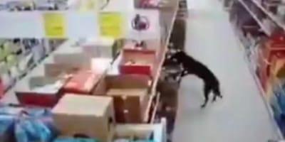 cane-tra-gli-scaffali-di-un-supermercato