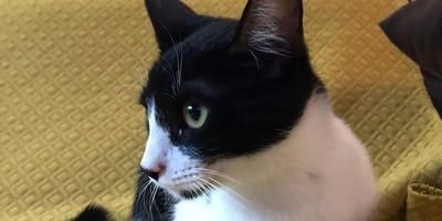 gata blanca y negra en adopcion