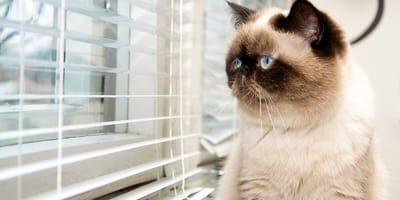 Traurige Katze schaut aus dem Fenster