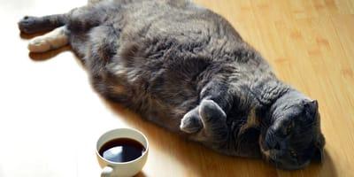 Da cosa dipende l'addome gonfio del gatto?