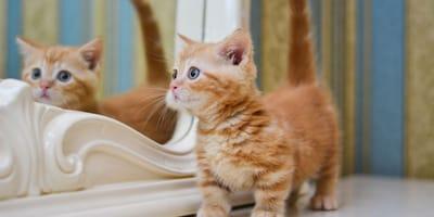 Quali sono le caratteristiche del gatto nano?