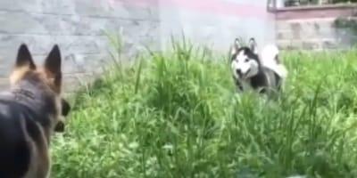 Husky and German Shepherd in a garden