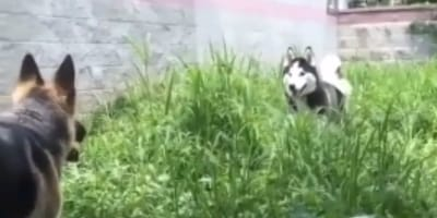 Husky attempts to befriend German Shepherd in the cutest way