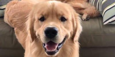 Hundeshow im TV: Als ihr Golden Retriever aufspringt, greift sie sofort zur Kamera!