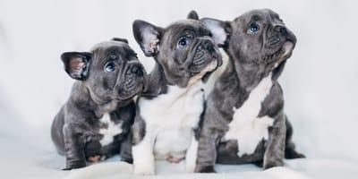 nombres para bulldog francés