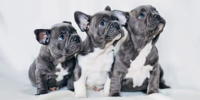Ideas de nombres para bulldog francés macho y hembra
