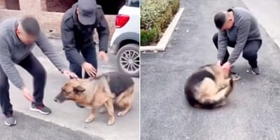 german shepherd in street with handler