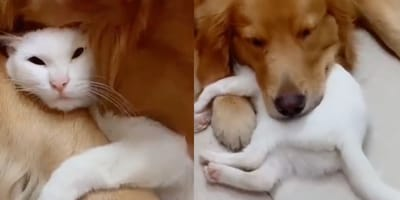Golden Retriever and white cat nap together