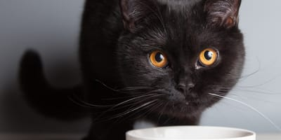 ¿Qué comida darle a un gato con problemas urinarios?