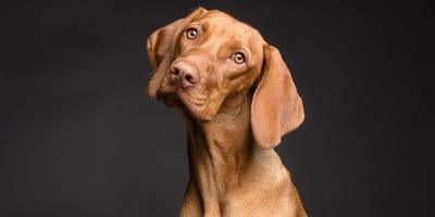 Come trattare la puntura di zecca nel cane e il gonfiore?