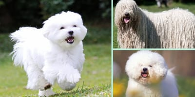 Descubre las razas de perros blancos más hermosas que hay