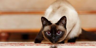 4 motivi per cui il gatto muove il sedere prima di saltare