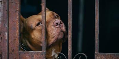 Pitbull Lola seit 400 Tagen im Tierheim: Plötzlich geht alles ganz schnell!