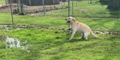 Labrador widzi kałużę, ale tego, co za zaraz zrobi, nikt się nie spodziewa! (VIDEO)