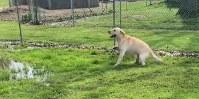 Fröhlicher Labrador sieht Pfütze