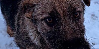 Abandonan a dos cachorros de pastor alemán en un gélido monte de Asturias: ¡INHUMANO!
